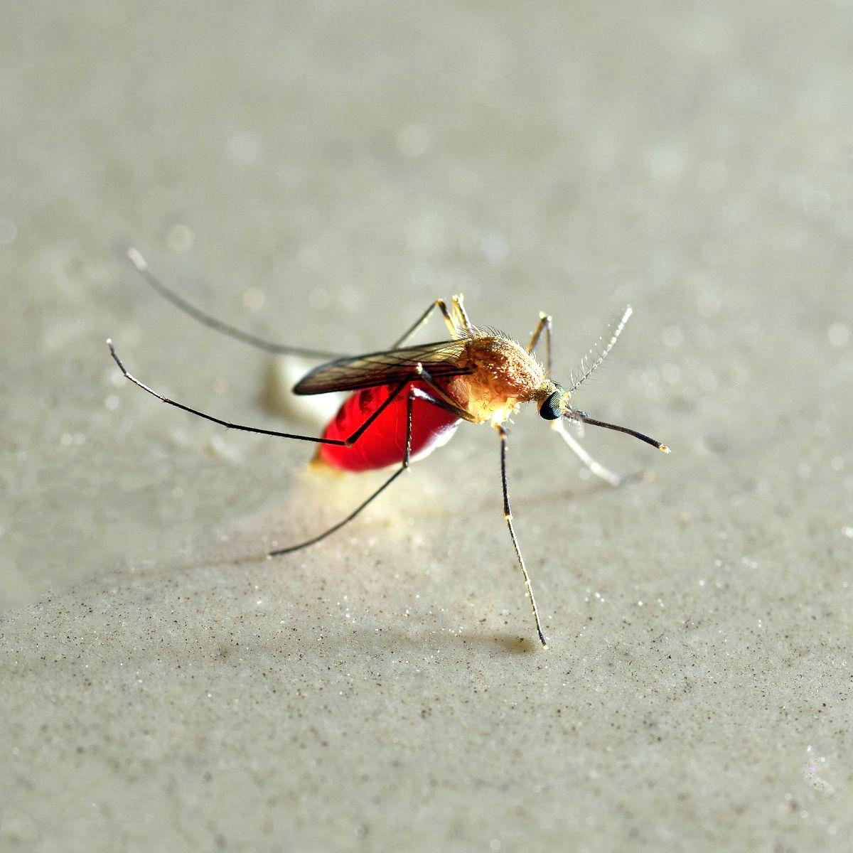 Un moustique rempli de sang
