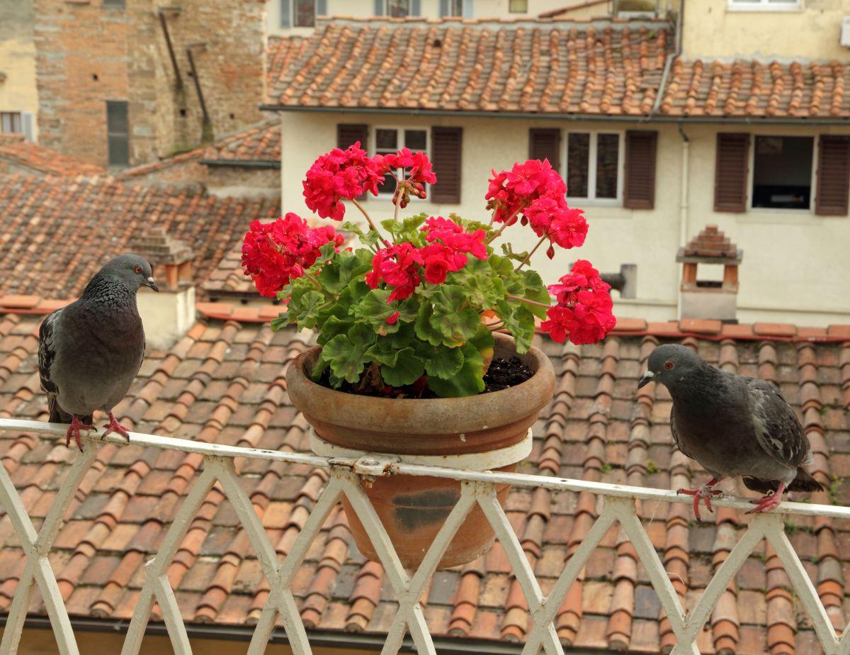Pigeons sur le balcon